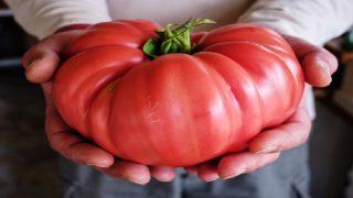 Съвет от Градинар за големи, едри домати без химикали!
