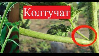 Градинар показва как Колтучи доматите си и Защо