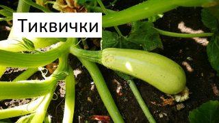 Градинар споделя всичко което знае за отглеждане на тиквичките