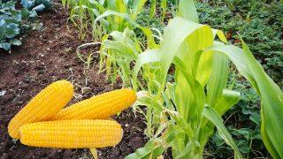 Градинар споделя съвети за Отглеждане и Съдене на Царевица